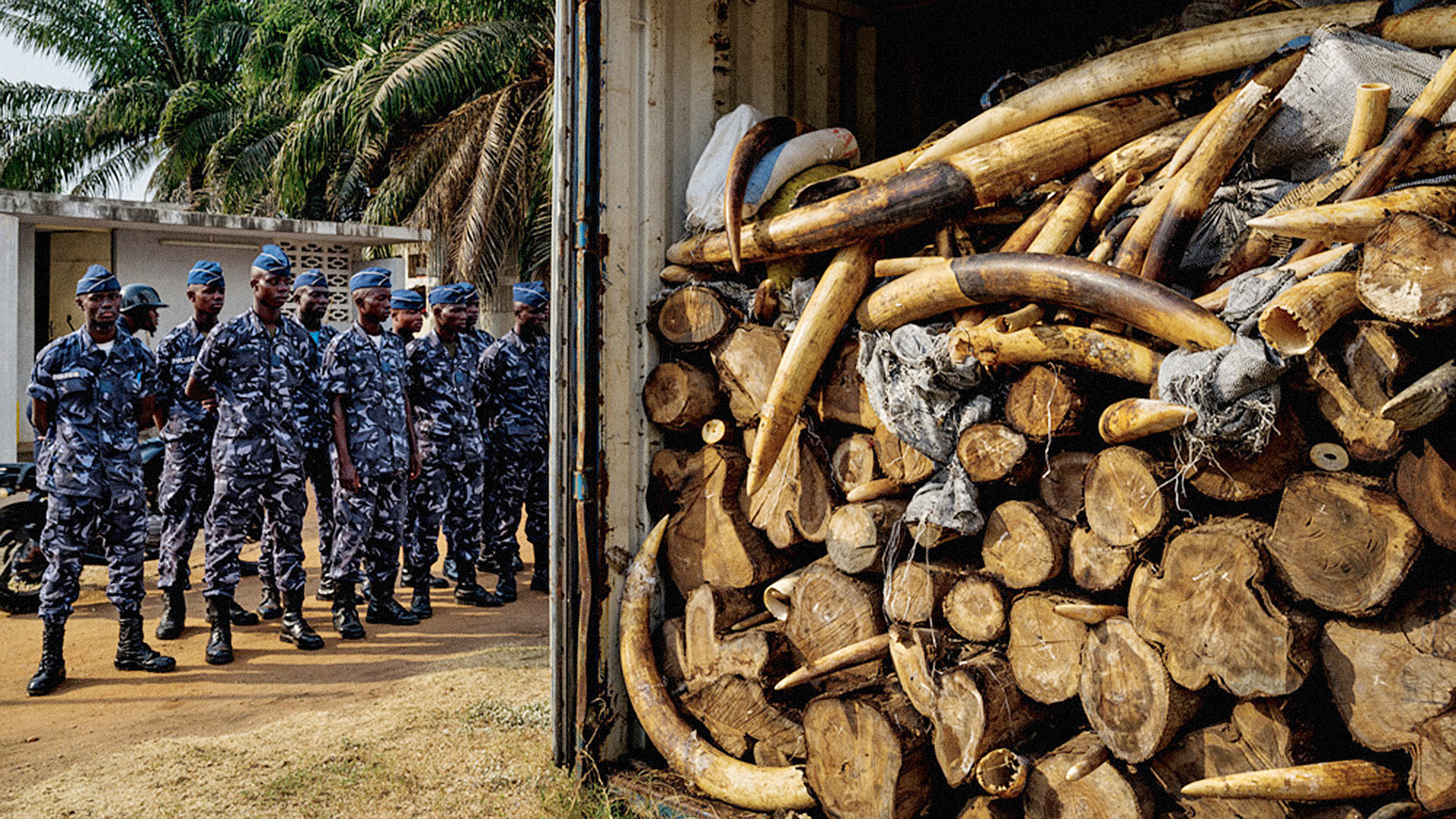 How Ingenious Fake Elephant Tusks Helped Track The Illegal Ivory Trade