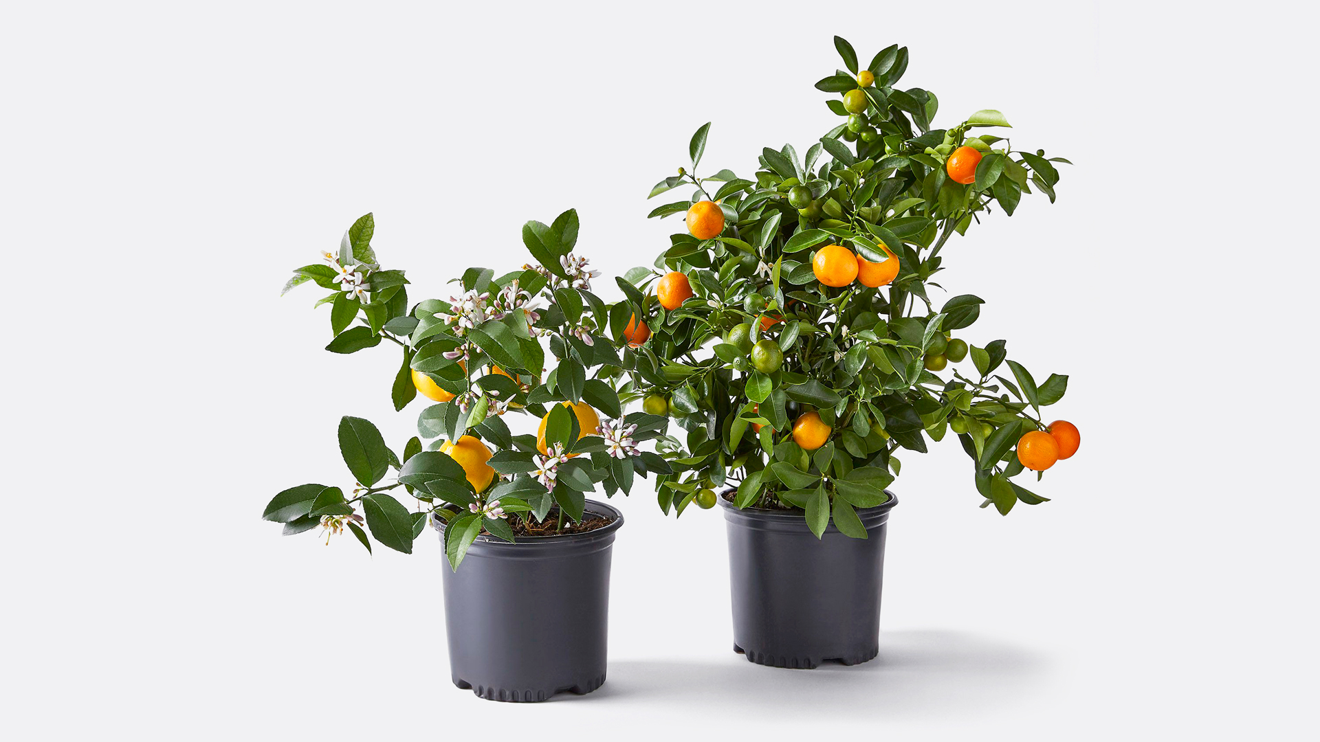 Food 52 Via Citrus Meter Lemon Tree