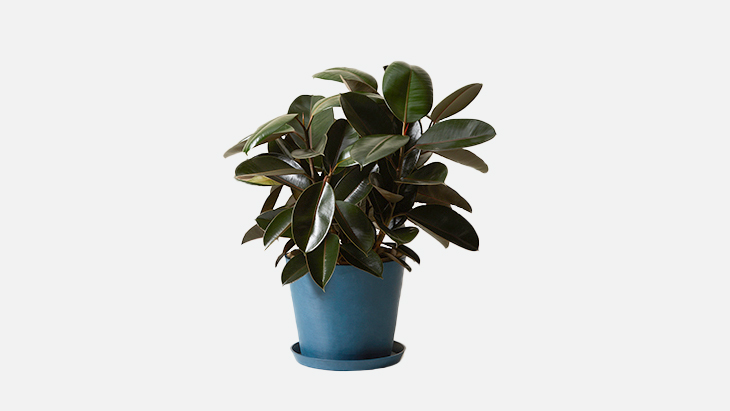 Bloomscpae Burgundy Rubber Tree