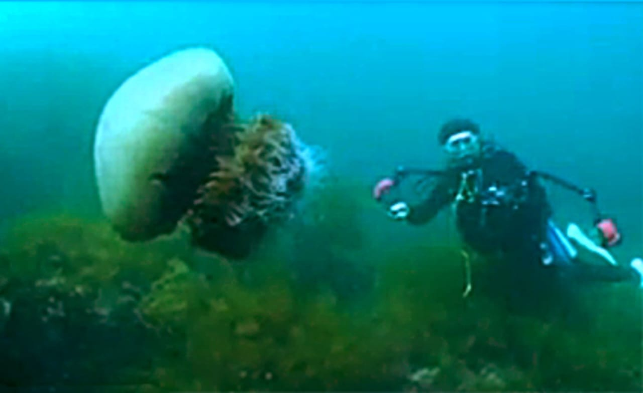 Japanese Fight Giant Jellyfish Invasion With Jellyfish ... Japanese Giant Jellyfish Invasion