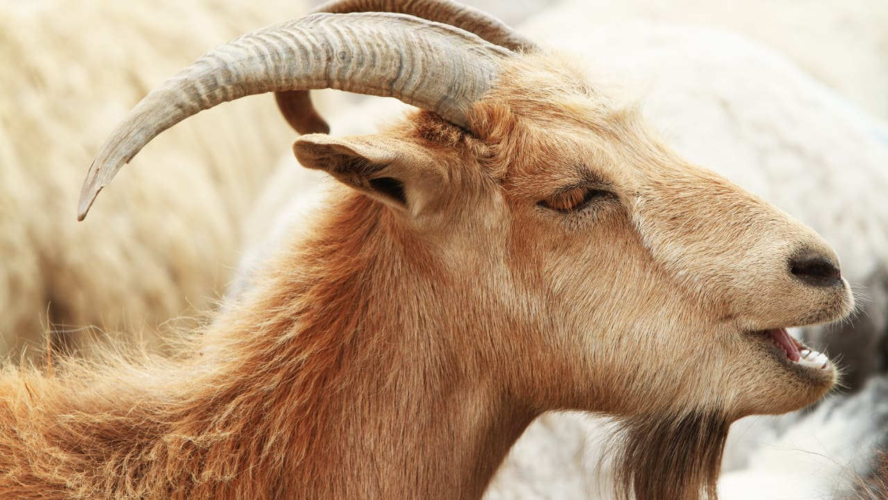 One Goat's Million-Dollar Blood Is Fueling Cancer Research