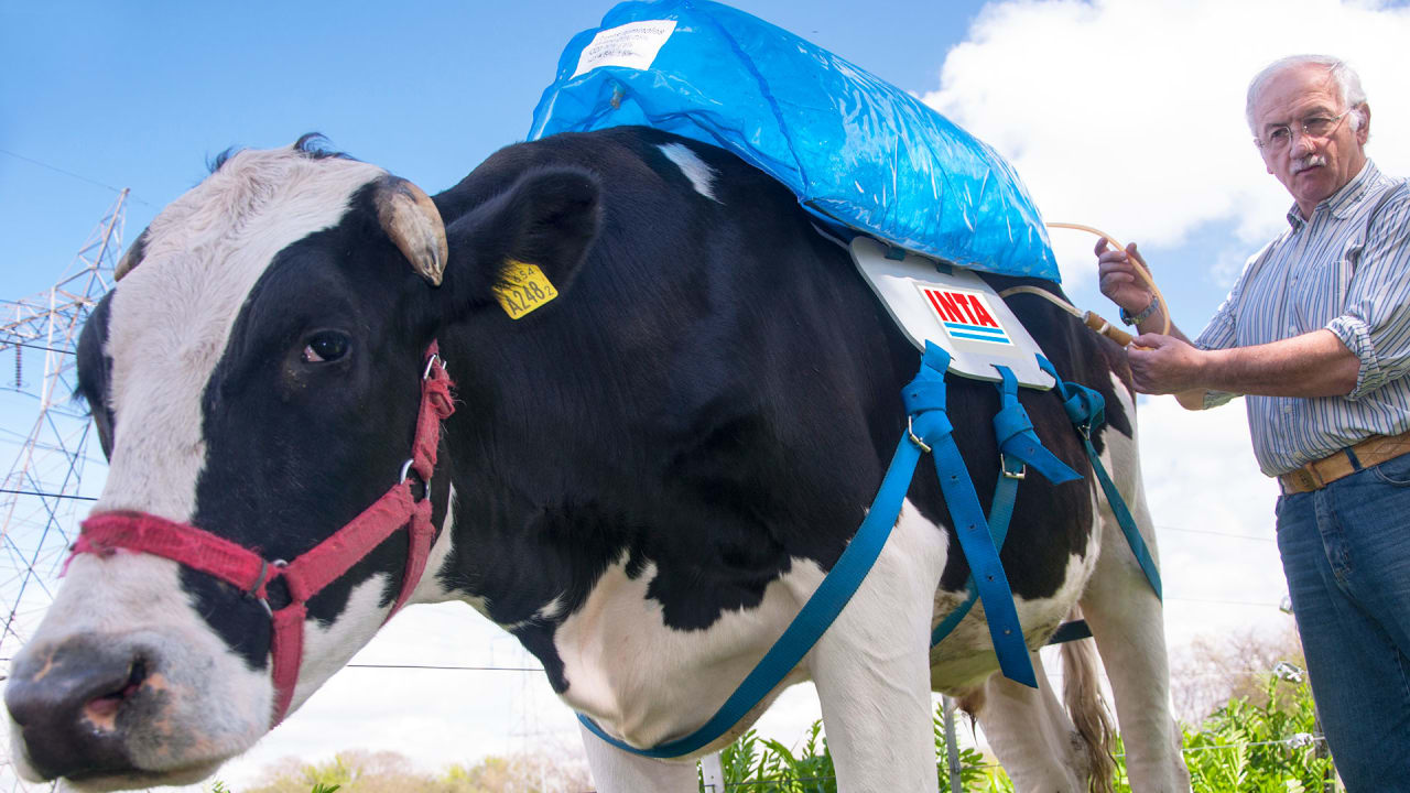 These Backpacks For Cows Collect Their Fart Gas And Store It For Energ