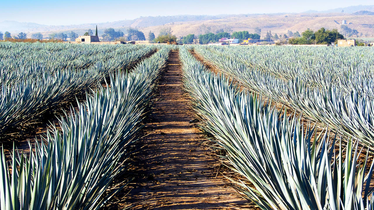 A Solar Farm That Doubles As A Tequila Plant Operation