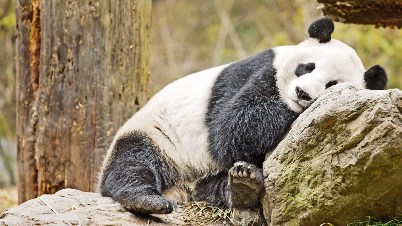 Dream Job Alert Panda Nannies Wanted In China