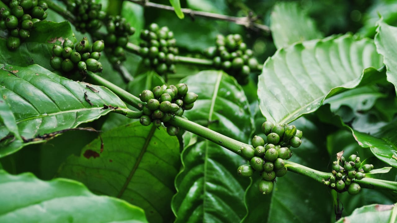 Your Coffee Is Getting Fancier, But Is It Getting Better For The World?