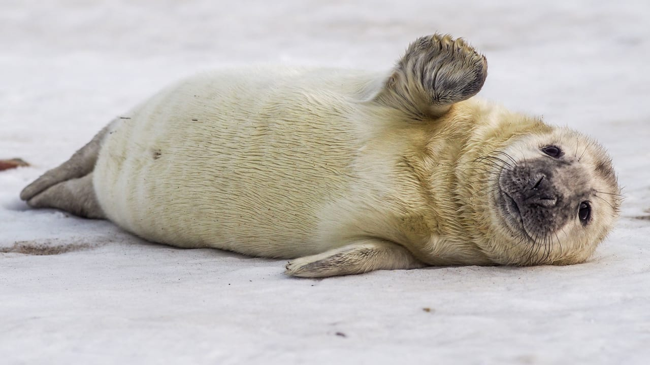 Seals Are Shrinking Because Of Climate Change