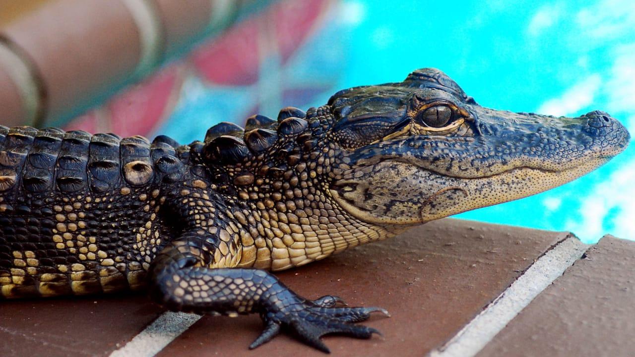 Behind the Alligator Pet Trade