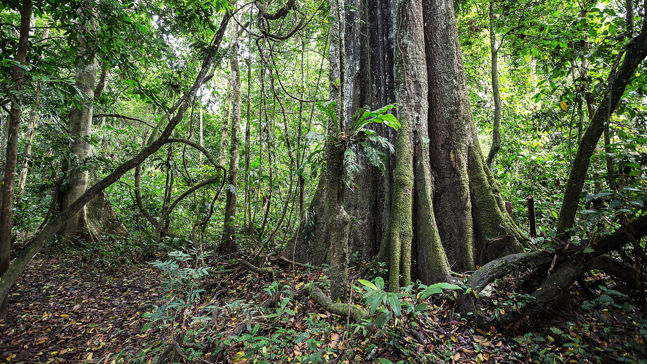 Giants Of The Amazon: The 'Hyperdominant' Trees That Are Key To Fighting Climate Change