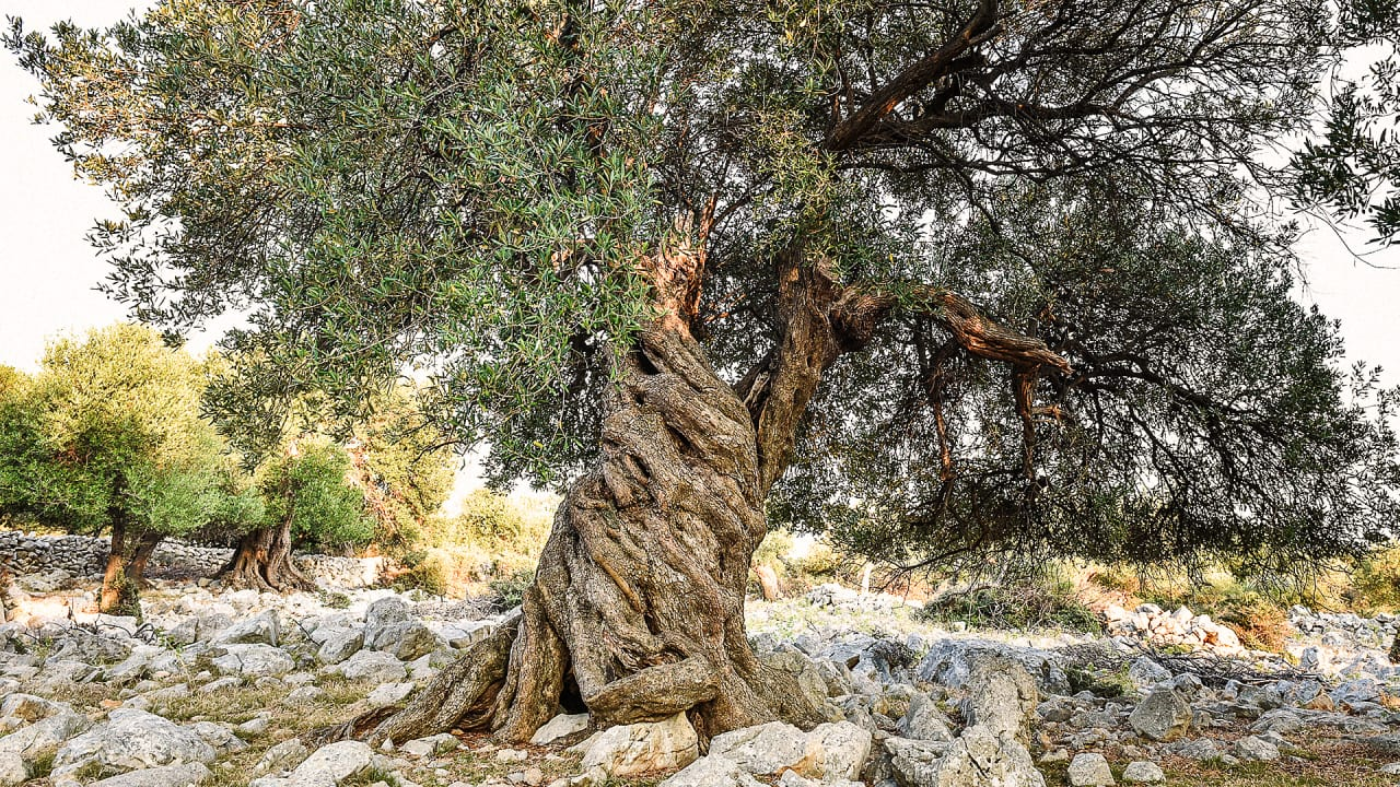 olive tree leaves spain s 1 000 year olive trees are sold to rich 1179
