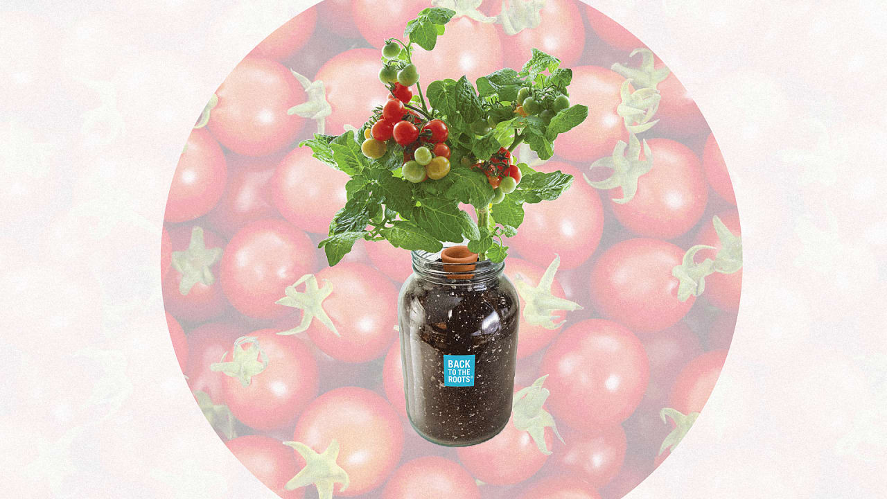 You Can't Kill This Countertop Tomato Plant Because It Waters Itself