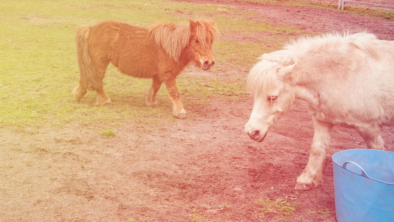 Southwest Airlines Pet Policy Gets More Pony Permissive With Miniature