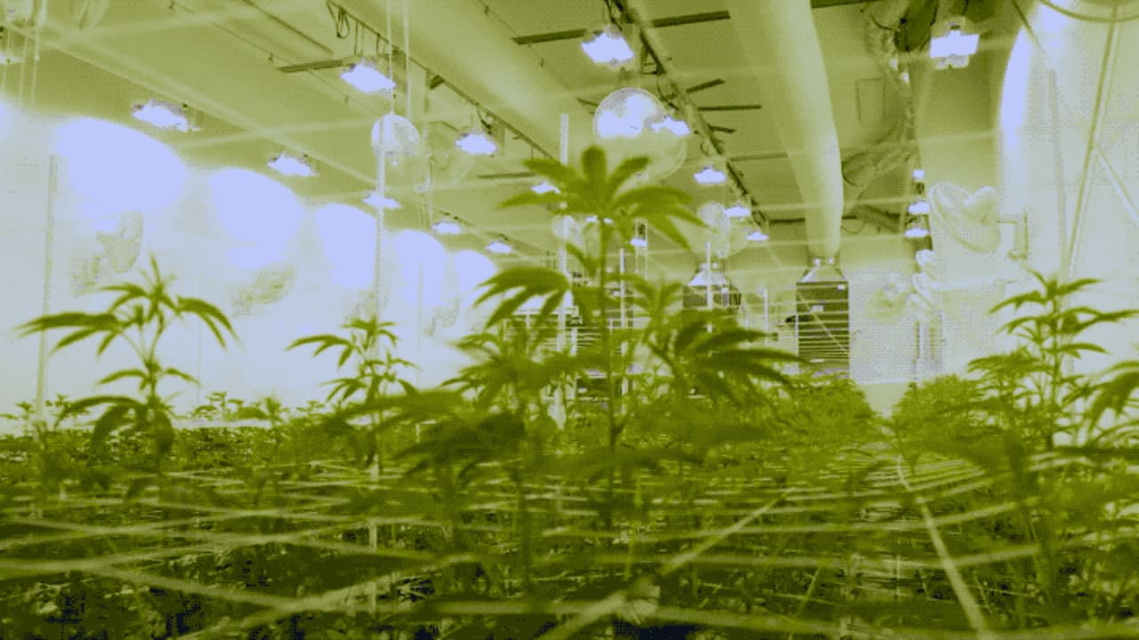 The Restrictions on the Cannabis Industry Make it Difficult to Be Sustainable