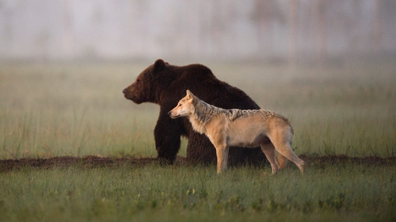 The Rewilding: Why Wolves and Bears are Returning to Europe