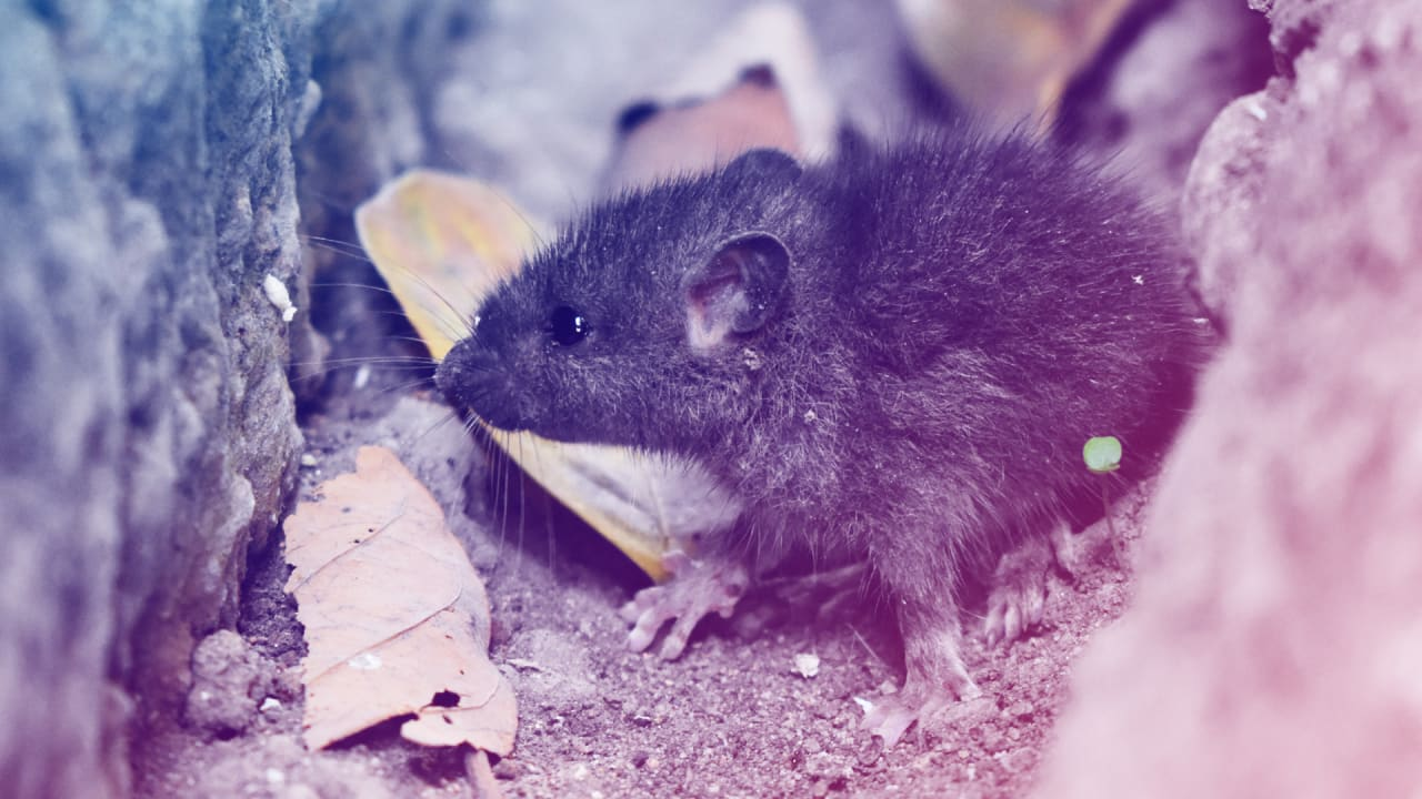 90 dead rats help showcase a futuristic rodent trap in NYC