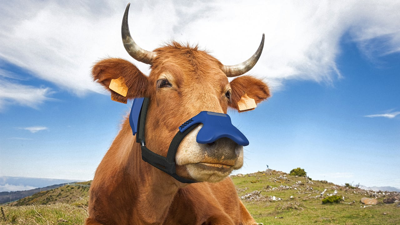 This mask for cows isn't for COVID—it helps reduce methane emissions