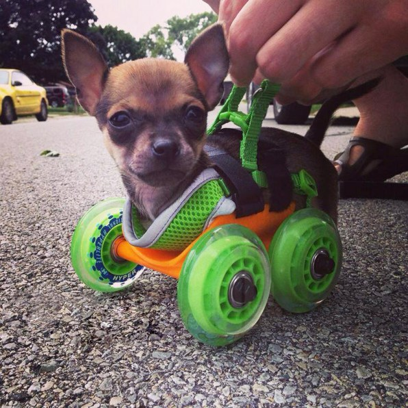 Engineer 3-D Prints An Adorable Dog Wheelchair For A Two-Legged Puppy