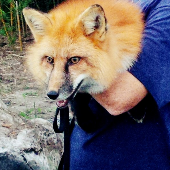 Meet Your New Pet A Domesticated Fox