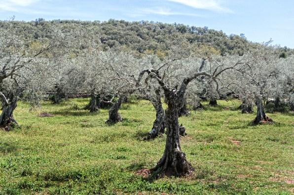 Spain S 1 000 Year Old Olive Trees Are Sold To Rich Foreigners As Lawn