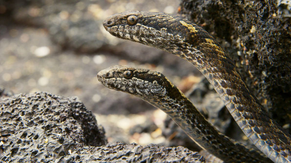 Here's The Story Behind That Terrifying Iguana Vs  Snakes