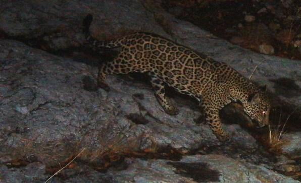 03 90635519 should we bring jaguars back to the us
