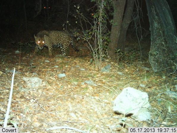 04 90635519 should we bring jaguars back to the us