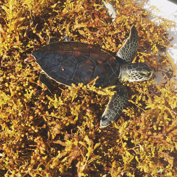 09 90635476 baby turtles spend their lost years