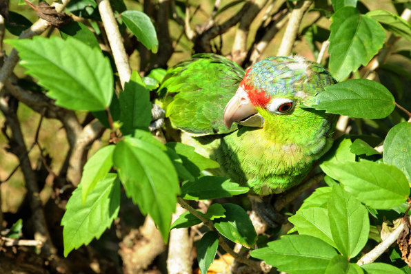 LasCayonetas Canas Panama Parrot