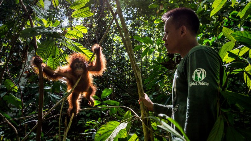 """At """"forest school,"""" humans teach orphaned orangutans how to be apes"""