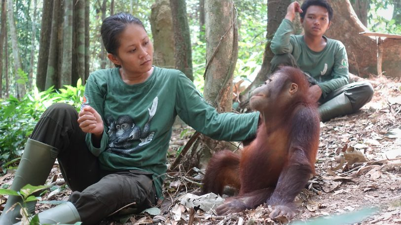 "At ""forest school,"" humans teach orphaned orangutans how to be apes"